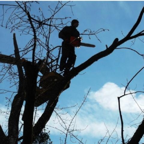 Комиссия Киевсовета не поддержала мораторий на обрезку деревьев