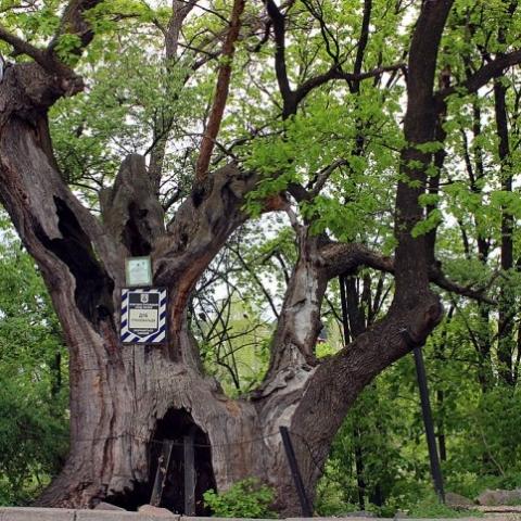 В Киев подсчитали деревья возрастом от 100 до 900 лет