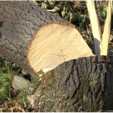 Вырубка деревьев в Протасовом яру оказалась законной