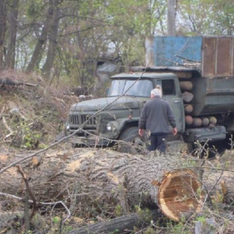 Застройщик уничтожает вековые деревья на Хоревице